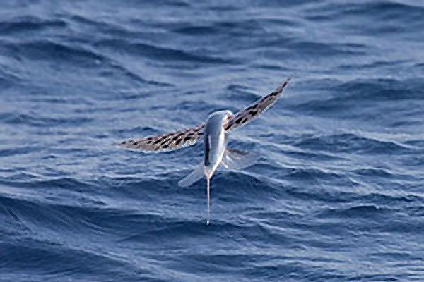 Картинки по запросу летучие рыбы