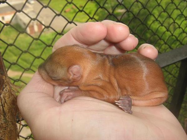 голая крот крыса: