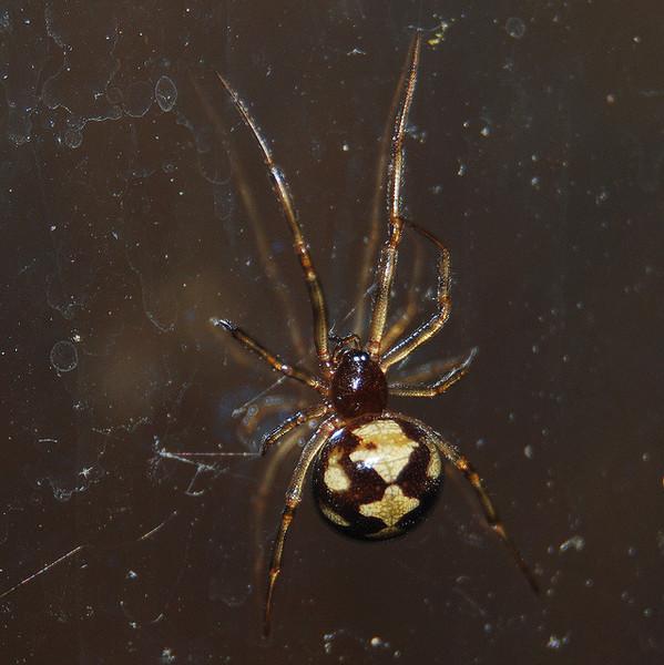 работал почти пауки рода стеатода фото всех видов правда далеко