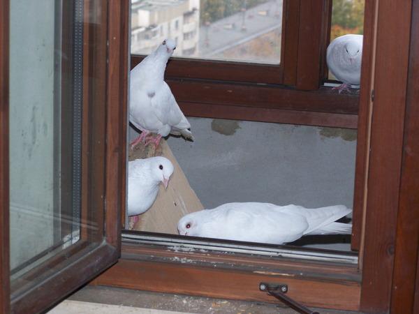 Ответы@mail.ru: к нам прилетели белые голуби. к чему бы это..