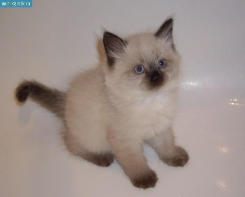 котята сиамской породы фото