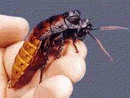 Сколько тараканы могут жить без воды