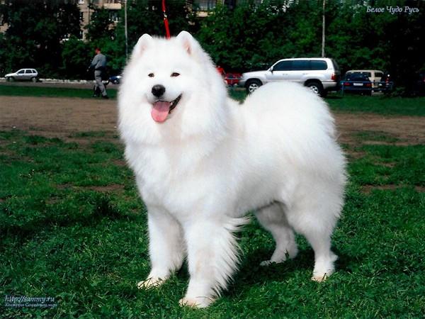 самая красивая порода собак в мире топ