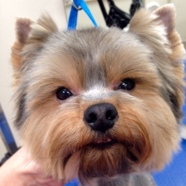Стрижка собаки в домашних условиях самостоятельно или с приглашением специалиста — дешевле, чем в салоне.