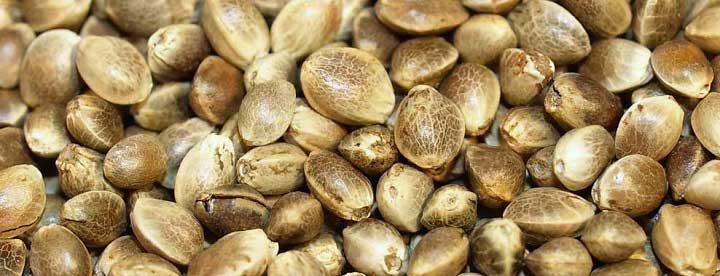 Семена конопли корм если съесть листья конопли