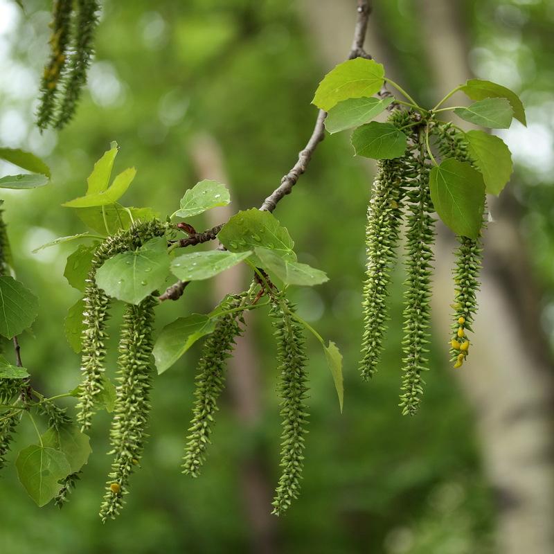 Деревья с сережками названия и фото