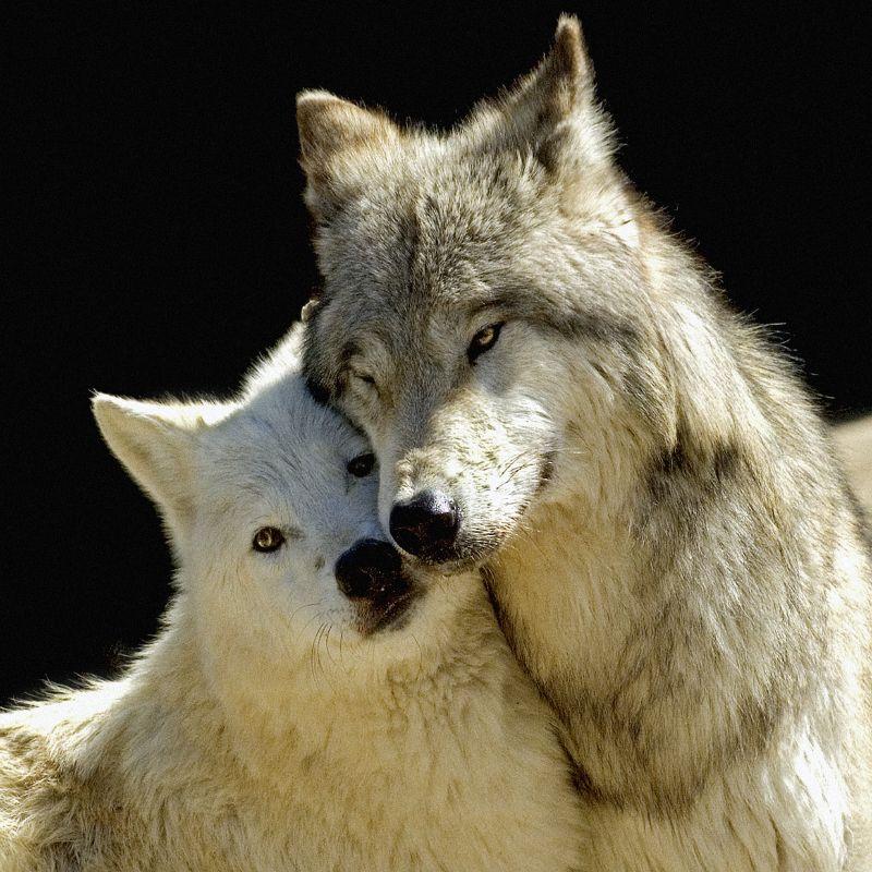 производят волчица и волк нежность картинки легко поддается