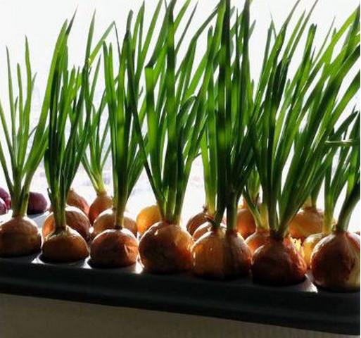 Выращивание лука картинка