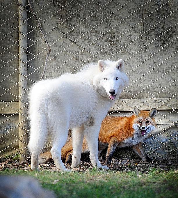 лиса и волк читать с картинками