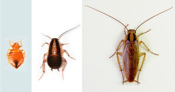 чорни жуки похожі на таракана многими модницами