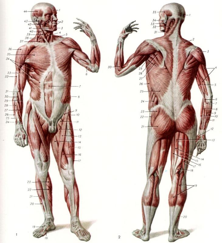 мох фото всех мышц человека для себя подходящее