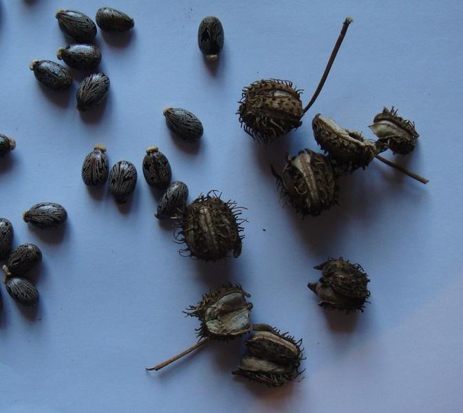 Крупные семена цветов фото и названия