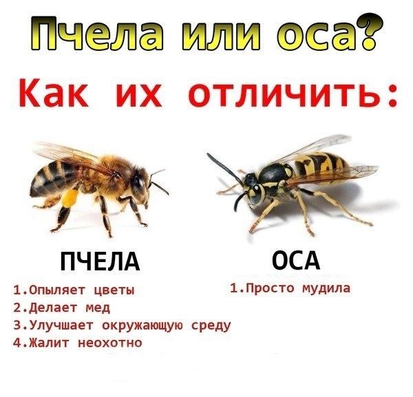 фото пчёлы и осы
