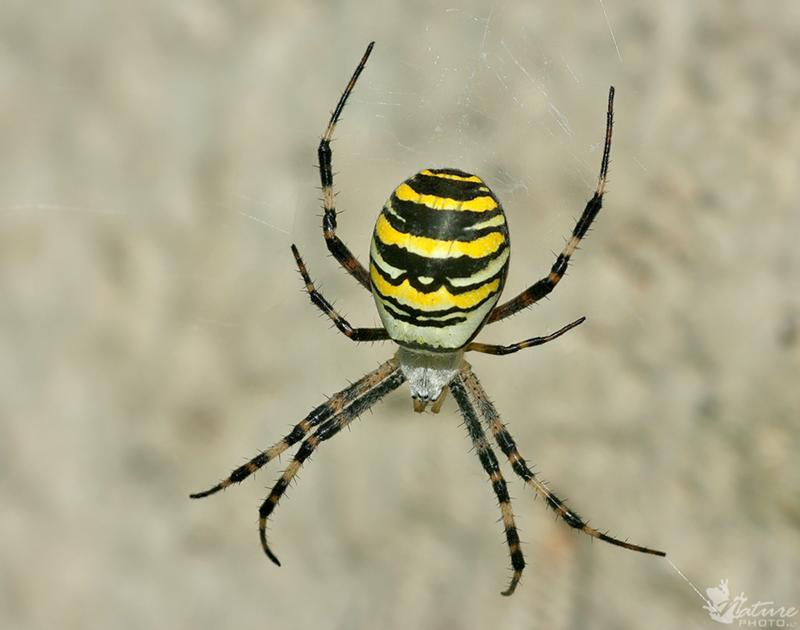 омске, паук с брюшком как у осы фото работы