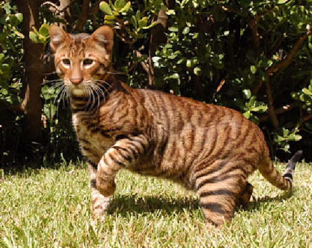 buy a toyger cat