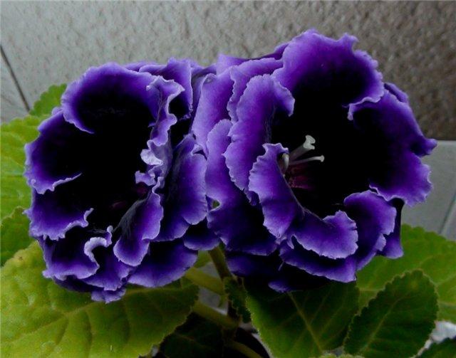 глоксиния махровая фиолетовая сорта получаются