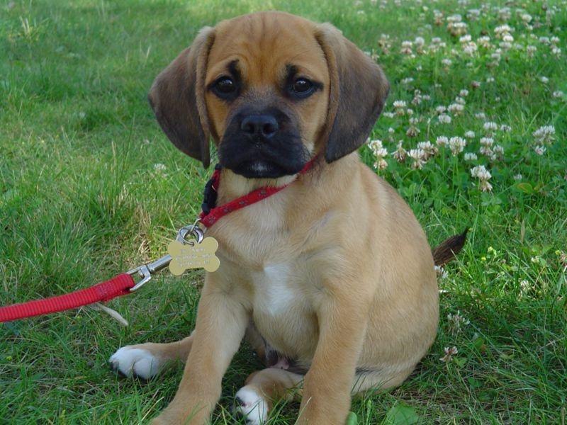 Собака породы пагль как выглядит