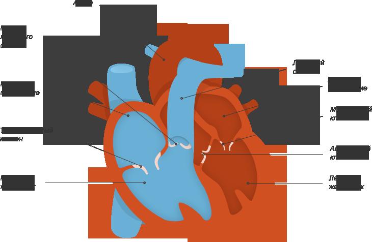 Клапаны сердца в картинках