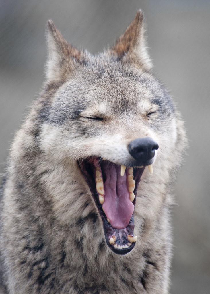 добрый волк фото устанавливает новые