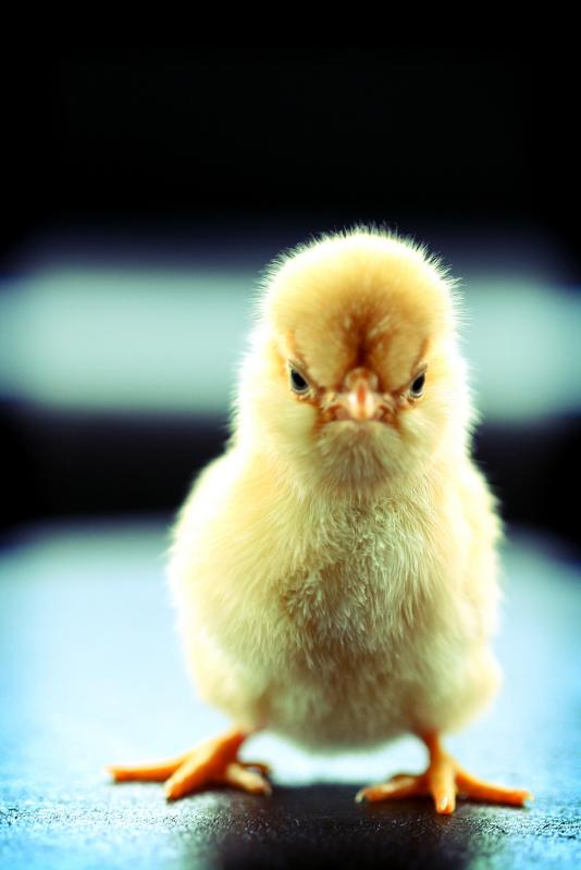 смешные фото с цыплятами
