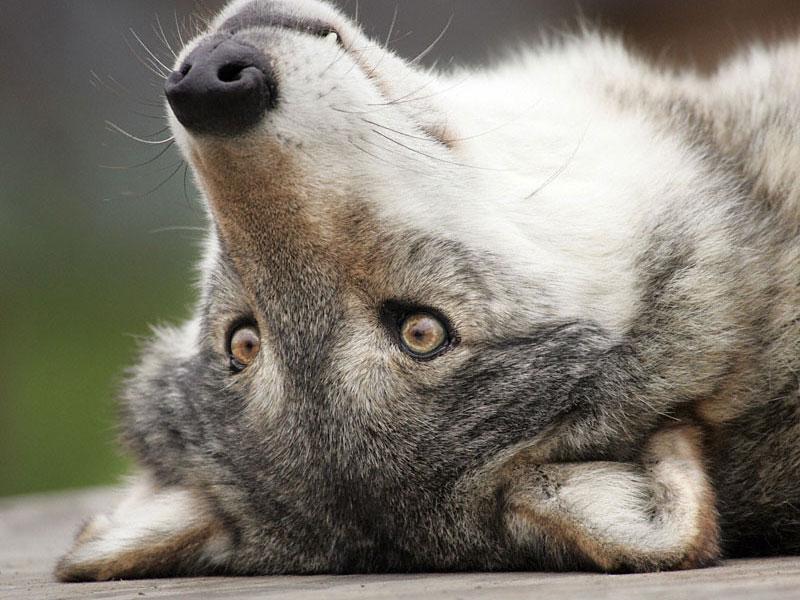 Картинка с волками и надписью, днем рождения