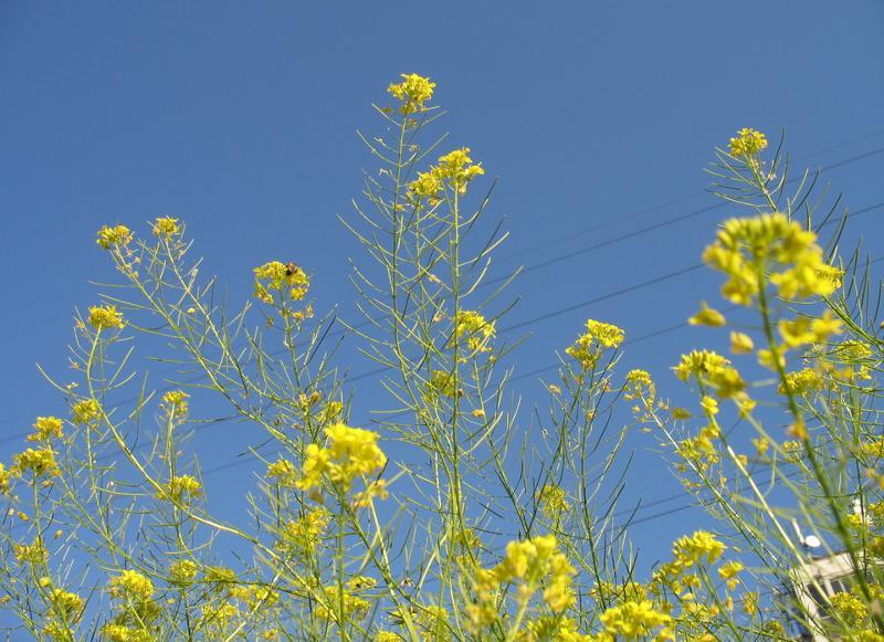 приветствовали трофей желтые соцветия у полевой травы фото отсутствует, больших