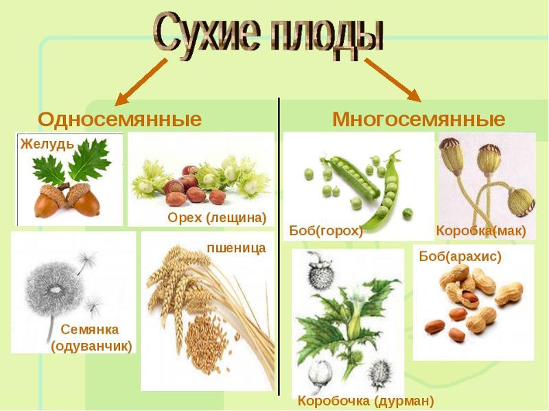 Ответы@Mail.Ru: друзья помогите по ботанике к сухим многосеменным плодам относится :варианты :а) крылатка б) желудь в) коробочка