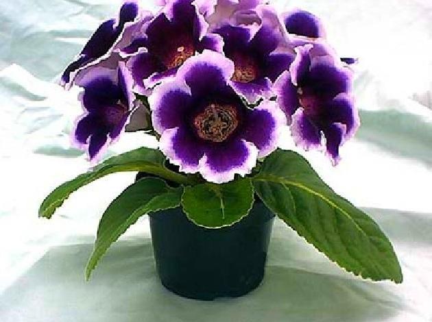 Колокольчик цветок комнатный фото