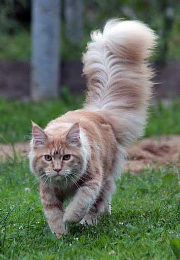 порода котов с пушистым хвостом