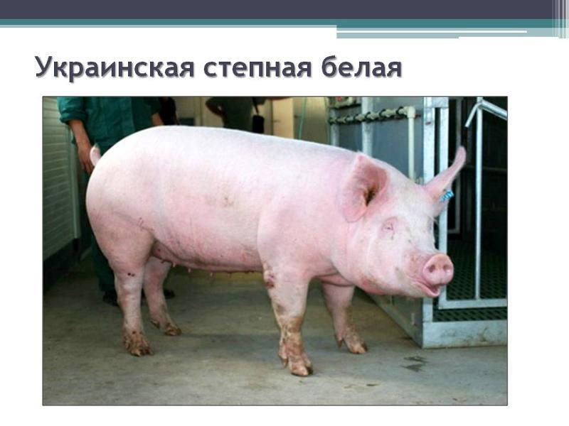 украинская степная белая порода свиней НЕДВИЖИМОСТЬ каталог