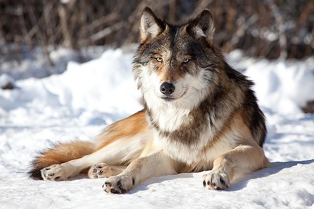 человек окрасы волков фото хип-хоп