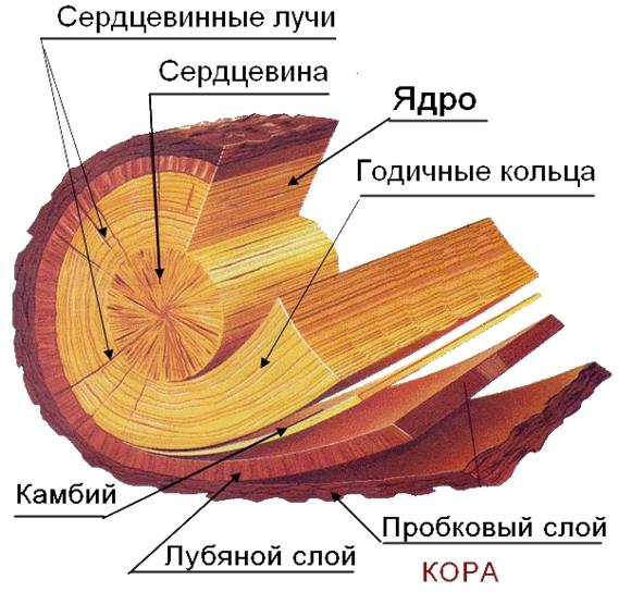 сердцевинные лучи древесины фото пенных