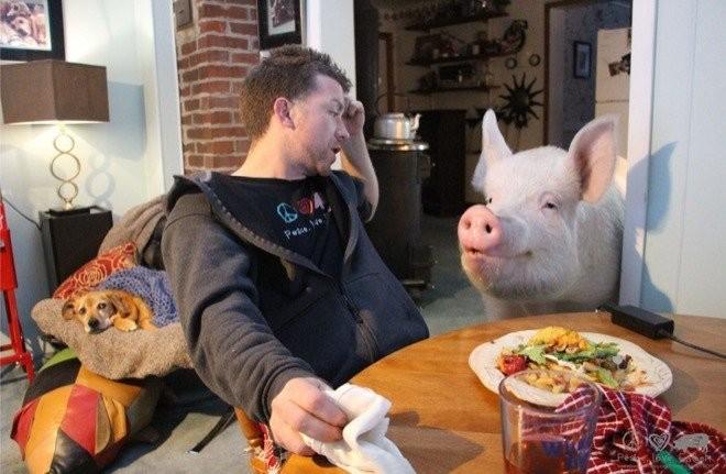 китайская маленькая свинка купить украина